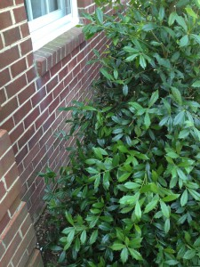 """Always try to leave some """"breathing room"""" behind your foundation plantings for air circulation as well as security."""