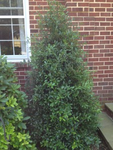 "Here is the ""After"" picture. Nice fringe-like texture, with branches full of leaves makes for a healthy Holly."