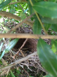 Always check for bird's nests before pruning or spraying.