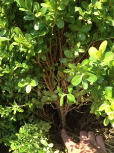 When shaping boxwood trim out the entire branch all the way to the base. It will encourage healthy new growth from the center of the plant.