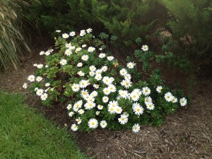 The montauk daisies are almost in full bloom!