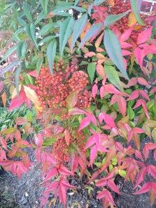 Nandina is always a favorite of mine with it's berries and incredible multicolored foliage.