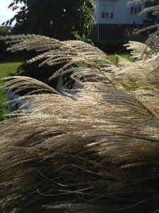 The fronds on the maidenhair grass shimmer in the sun.