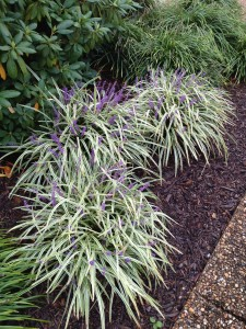 Liriope, both variegated and solid colored have purple spikes of flowers in early Autumn, then turning to seedpods. These are also an easy plant to split and create many new plants.