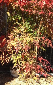 And my favorite plant of the season, the nandina. With my garden buddy Stomper taking his afternoon nap underneath.