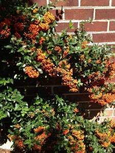 The berries are huge this year on the Pyracantha. The birds will soon notice, and gorge on them, I'm sure!