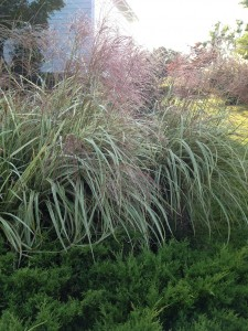 Variegated grasses- the plumes are a pink color which fades to white.