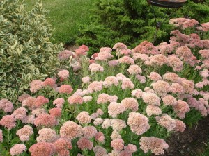 Sedum is a terrific plant, it is beautiful Spring to Fall, and is easy to divide and create lots of new plants.
