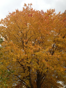 Gorgeous golden colors of Fall