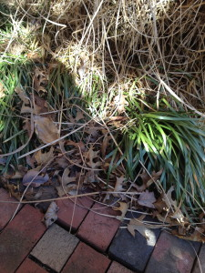"When the ornamental grasses start to shatter apart in the Spring it's time for  their annual ""haircut."""