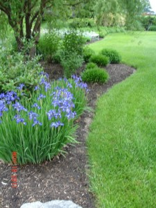 6-left-side-blue-iris-768x1024