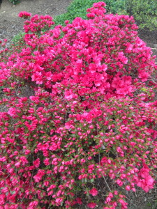 The azaleas are just starting to open, but are loaded with flowers.