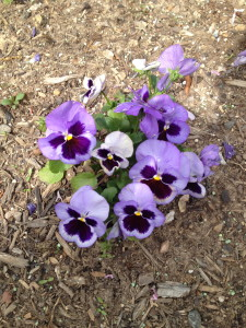 There are lots of pink and purple pansies along the driveway.