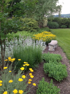 Summer blooms- golden yarrow, lamb's ears and coreopsis taking there turn in the spotlight.