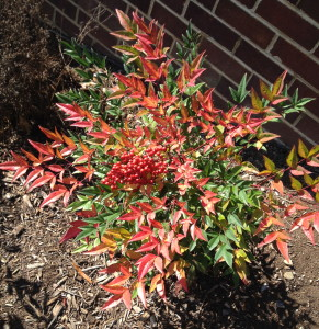 The neon shades of the nandina always make me happy.