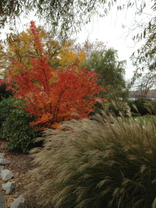 A brilliant blaze of color from the crepe myrtles.