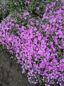 Even though it was damaged by heavy loads of Ice and snow this past winter the creeping phlox is starting to bloom.