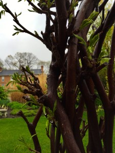 So, until then, we'll have to wait and see if the wisteria is going to bloom this year. Fingers crossed it will! Enjoy your Spring