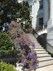 The wisteria on the stair rails of the south portico were in full bloom.