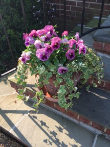 Pansies at there fullest-
