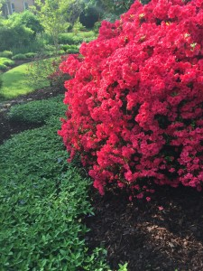 The azalea & periwinkle bloomed at the same time this year-