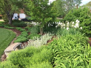 The white iris is even taller than usual this year- almost 4 feet tall!