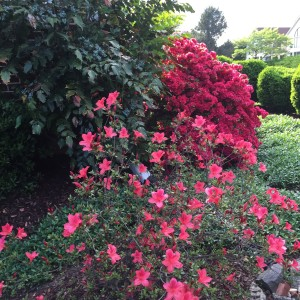 One more shot of the azaleas-