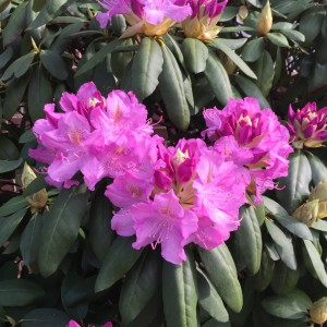 The rhododendron are so full of flowers. A welcome sight after a cold winter.