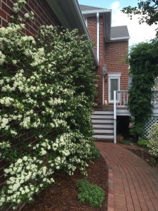The pyracantha was filled with flowers, and is growing so quickly I need to add more brick anchors in the wall.