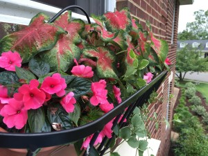 This years choice for the window box above the front door- coladium, vinca vine and new guinea impatiens.