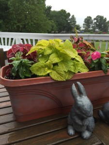 Planters on the deck are in full sun all day, so this year I chose coleus and vinca flower.