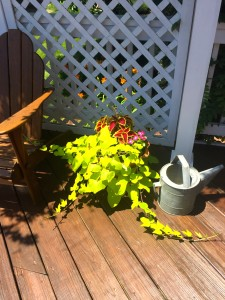 This sweet potato vine might take over the deck if I let it!