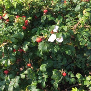 The rugosa rose or rosehips plant is seen everywhere in Maine. So beautiful!