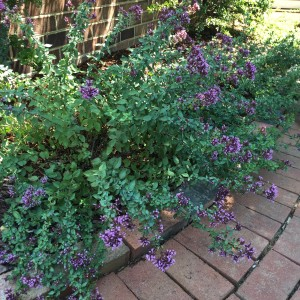 Even the oregano was blooming and full in the early half of Summer.