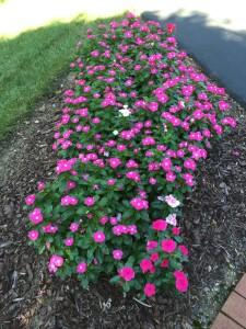 This is the third year I have planted vinca in this location. It does so well on either side of the driveway, and some of the previous years colors have self sown- love the mix.