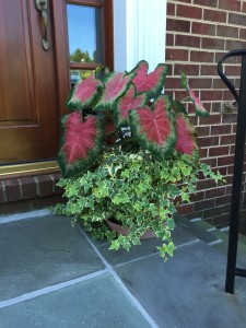 The caladium plants put on a show all Summer, and didn't mind the heat at all!