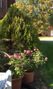 As always, I have to give props to the Knock-out roses. They gave constant color, and filled in beauitfully after a hard cut back in the Spring.