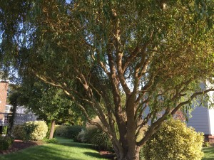 If you are looking for a medium sized tree with year round beauty consider a curly willow. This has become one of my most treasured of all the plants in my garden.