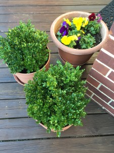 "Now that the mums have finished blooming, I have filled in the pots with boxwood trimmings from my yard. They make beautiful ""plants"" all winter long."
