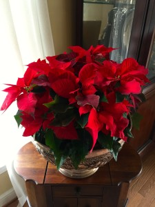The pointsettia doubled in size this last month, and is loving the east exposure.