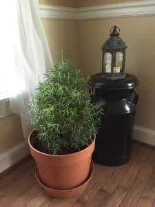 Rosemary is a fantastic plant to have inside over winter, the scent is wonderful, it cleans the air and you can cook with it . How great is that!