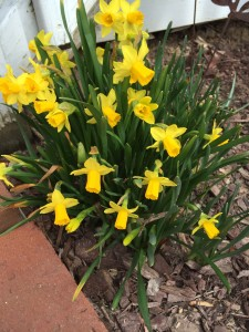 Followed quickly by the daffodils-