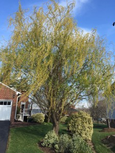 The curly willow was the first tree to start it's new growth. This year it has doubled in size!