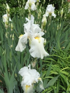 The glorious white irises-