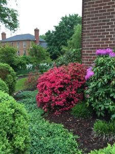 Long shot through the azaleas to the east garden-