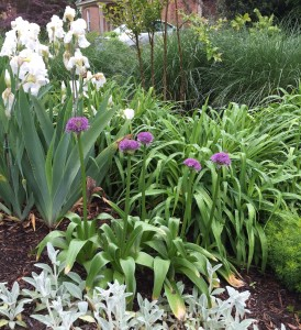 And drum roll, please-- the beautiful allium flowers just exploded open!