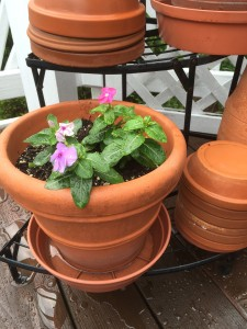 Remove the drain saucers from your flower pots when heavy rain is expected so that the pots do not become waterlogged.