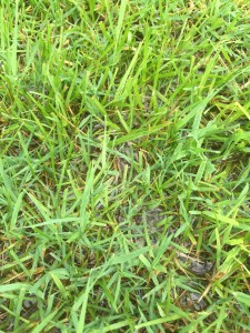 If you have standing water in your lawn try not to walk on it, or mow it until it has had time to dry out.