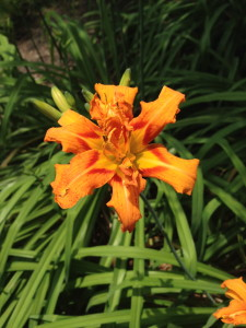 Number 1 on the list are the daylilies- this variety is a double flowering beauty.