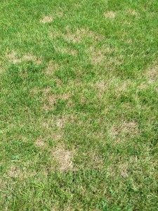 I have a new lawn mystery to solve. Brown spots! I think these have been caused by lawn grubs.